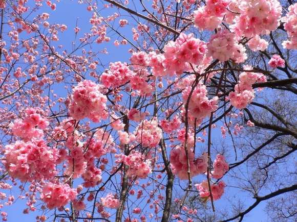 2014昆明樱花节是什么时候?昆明圆通山樱花节好玩