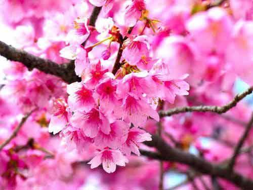 昆明圆通山灿若云霞的樱花让人惊叹